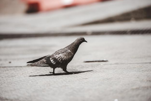 Close-up die van een duif is ontsproten die ter plaatse loopt