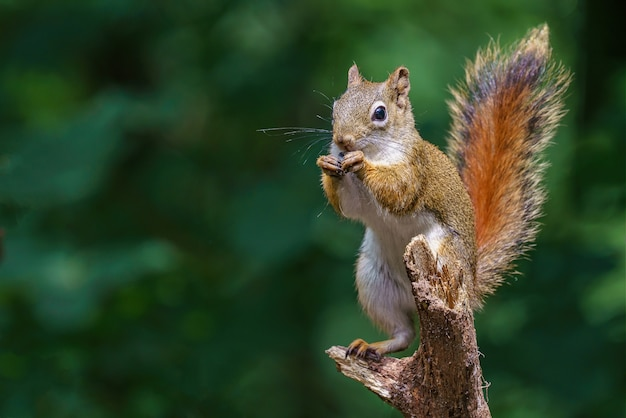 Close-up die van een europese eekhoorn is ontsproten die een pinda eet