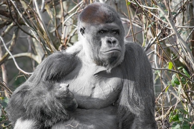 Close-up die van een gorilla is ontsproten die een vuist maakt
