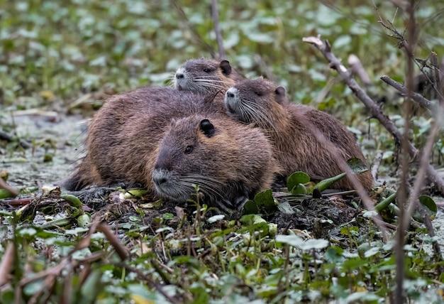 Close-up die van een groep leuke nutrias is ontsproten die op de grond liggen