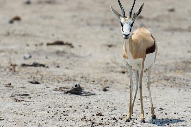 Close-up die van een jonge gemsbok is ontsproten die recht staart