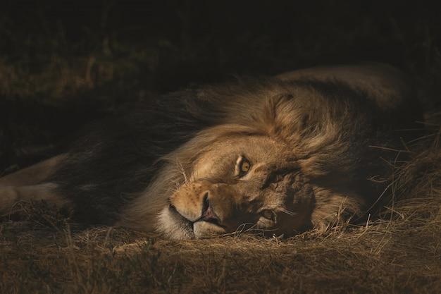 Close-up die van een leeuw is ontsproten die op een droog grasrijk gebied legt