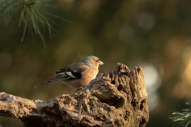 Close-up die van een leuke europese robin-vogel is ontsproten die op hout met een vage achtergrond wordt neergestreken