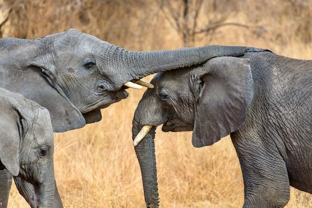 Close-up die van een leuke olifant is ontsproten die de andere met de stam raakt
