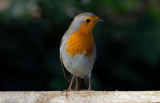 Close-up die van een leuke vogel van robin op vage muur is ontsproten