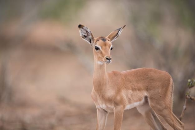 Close-up die van een mooie babyantilope is ontsproten