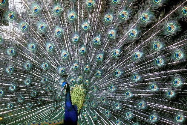 Close-up die van een mooie blauwe pauw is ontsproten