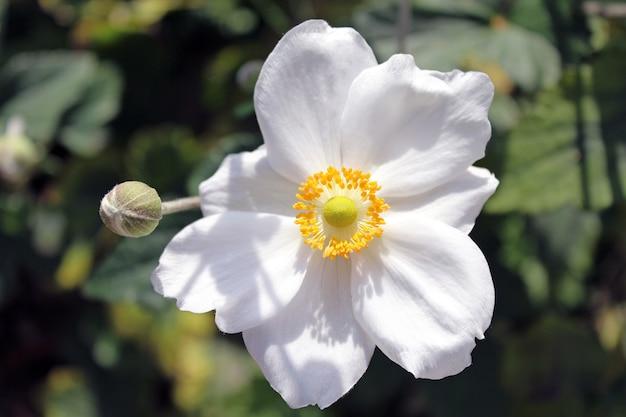 Close-up die van een mooie witte bloem van de oogstanemoon is ontsproten
