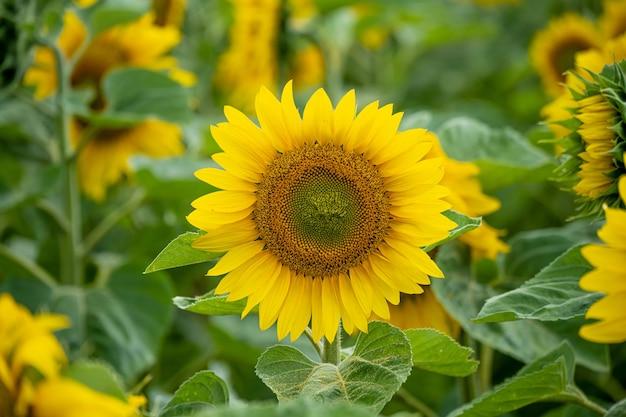 Close-up die van een mooie zonnebloem op een zonnebloemgebied is ontsproten