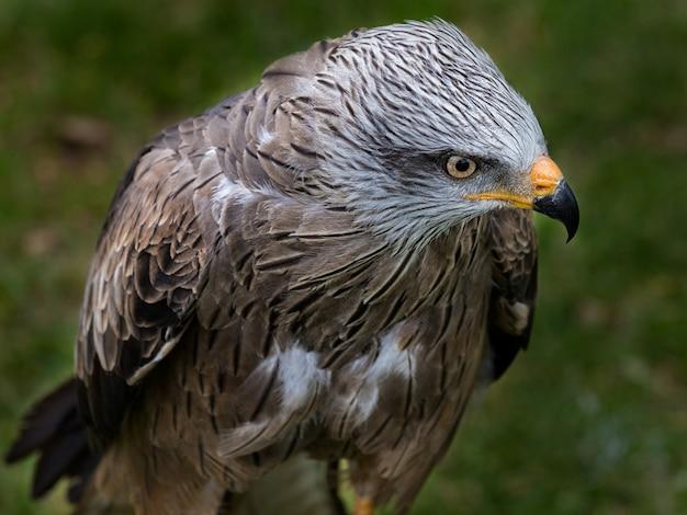 Close-up die van een mooie zwarte vliegervogel is ontsproten