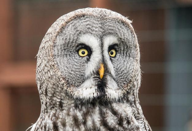 Close-up die van een nieuwsgierige grote grijze uil is ontsproten die direct naar de camera staart