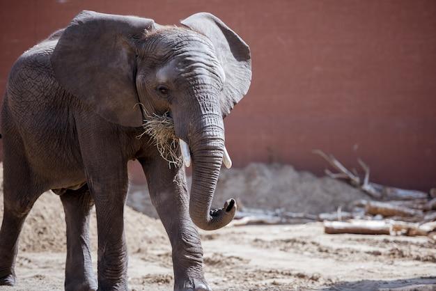 Close-up die van een olifant is ontsproten die droge grasrijk eet