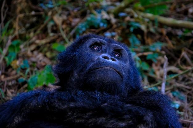 Close-up die van een orangoetan is ontsproten die omhoog eruit ziet
