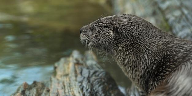 Close-up die van een otter is ontsproten die een rivier bekijkt