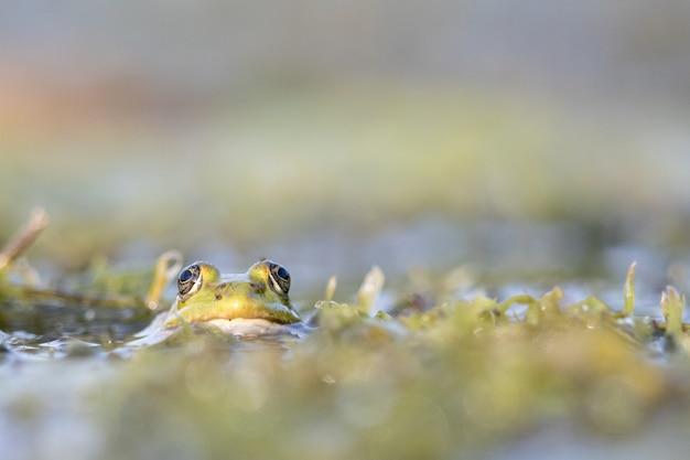 Close-up die van een pad is ontsproten die zijn hoofd uit het water steekt