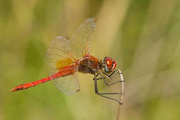 Close-up die van een rood-geaderde heidelibel is ontsproten die op zijn prooi wacht