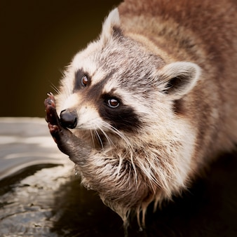 Close-up die van een wasbeer is ontsproten die zijn hand schoonmaakt