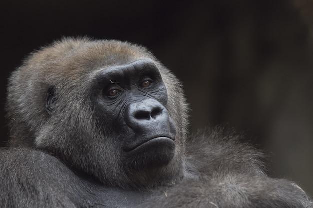 Close-up die van een westelijke zitting van de laaglandgorilla is ontsproten