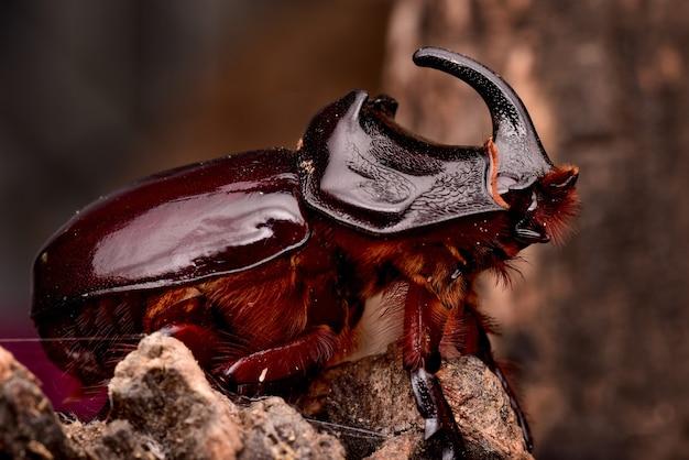 Close-up die van het bruine insect van de neushoornkevers is ontsproten