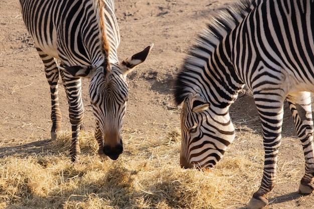 Close-up die van twee zebra's is ontsproten die hooi met een mooie vertoning van hun strepen eten