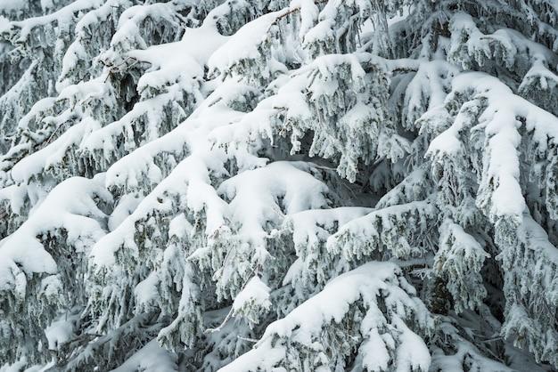 Close-up dikke pluizige besneeuwde sparren staan in het bos op een ijzige winterdag.