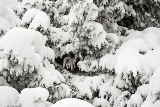 Close-up dikke pluizige besneeuwde sparren staan in het bos op een ijzige winterdag