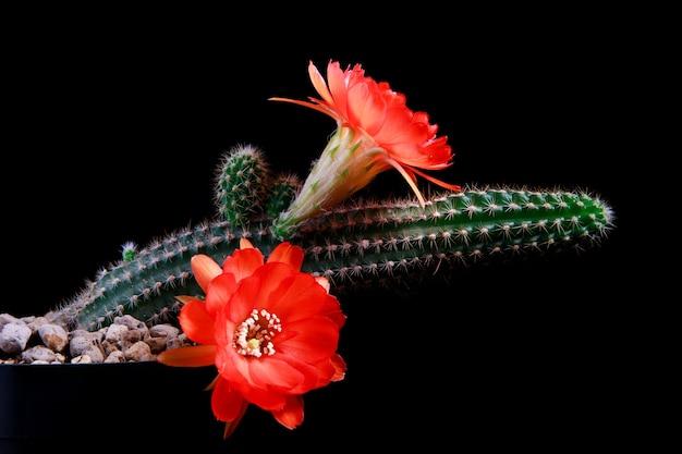 Close-up echinopsis cactus met oranje bloem bloeien tegen donkere achtergrond