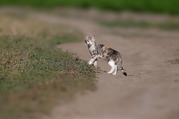 Close-up foto van een driekleurige kat (kat) op een veldweg