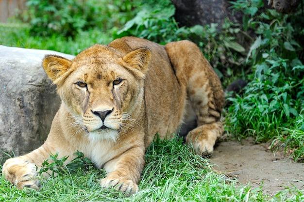 Close-up foto van een leeuw. een portret van een leeuwin die op gras ontspant