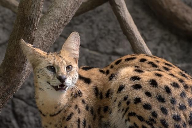 Close-up foto van een serval kat