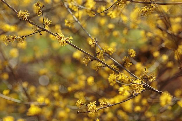 Close-up foto van een vroege lente cornelian cherry kornoelje bloem. bloeiende struik cornus mas in het uiterwaardenbos.