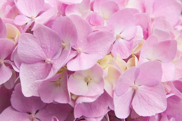 Close-up geel-roze hortensia. zomer bloeiende achtergrond