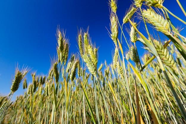 Close-up gefotografeerd landbouwgebied waarop groene onrijpe rogge groeit. op de achtergrond een blauwe lucht