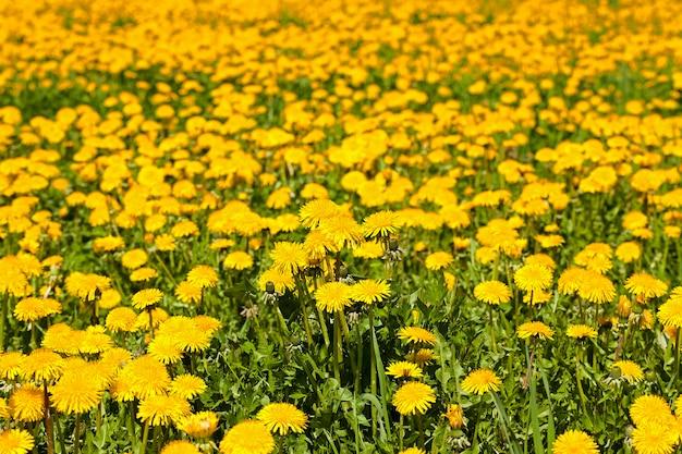 Close-up gefotografeerd van gele paardebloemen. voorjaar