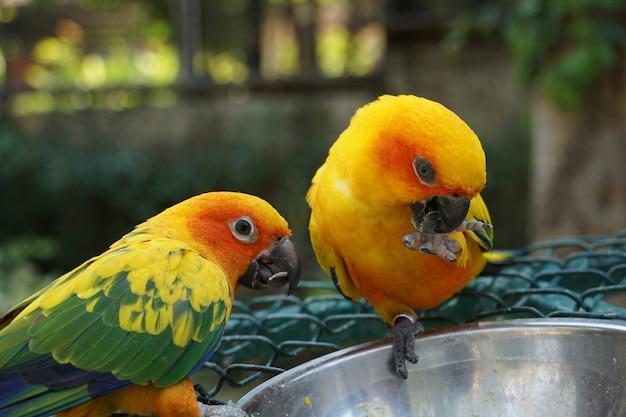 Close-up gele dwergpapegaaipapegaaien die droog zonnebloemzaad uit de roestvrije kom eten. dieren voederen.