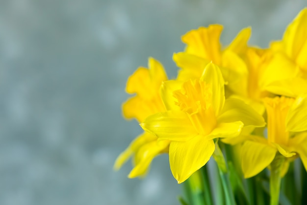 Close-up gele narcissen op grijze achtergrond.