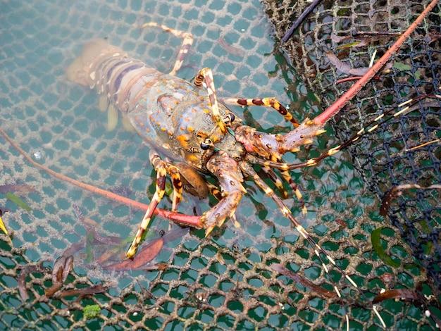 Close-up geschilderde langoest klimmen op het net in de viskooi en kreeft boerderij in het zuiden van thailand.