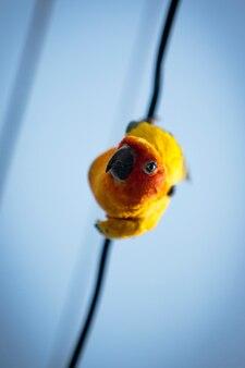 Close-up gezicht van zon papegaaiachtigen papegaai opknoping op elektrische draad