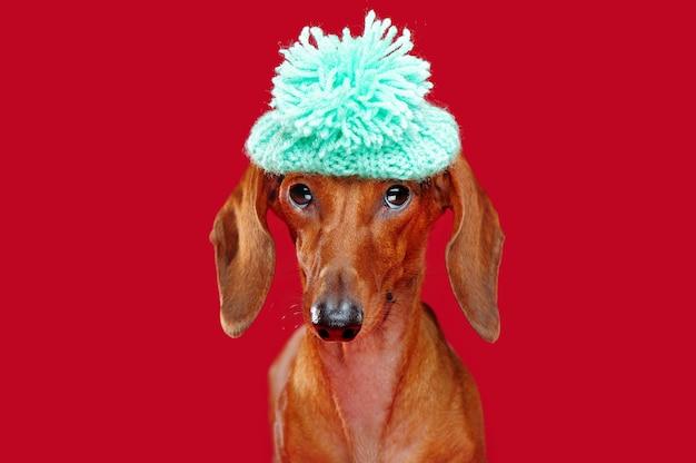 Close-up grappig portret van een tekkel die baret met pompon draagt