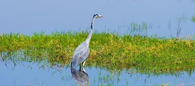 Close-up grijze reiger in een gras aan de rivierkust