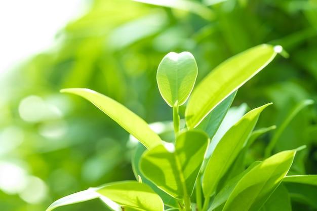 Close-up groen blad in de tuin op vage achtergrond. mooi en gemakkelijk in het oog.