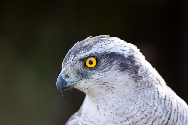 Close-up hawk goshawk