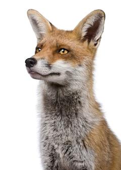 Close-up headshot van red fox,