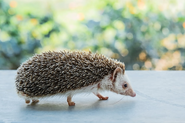 Close-up hedgehog.