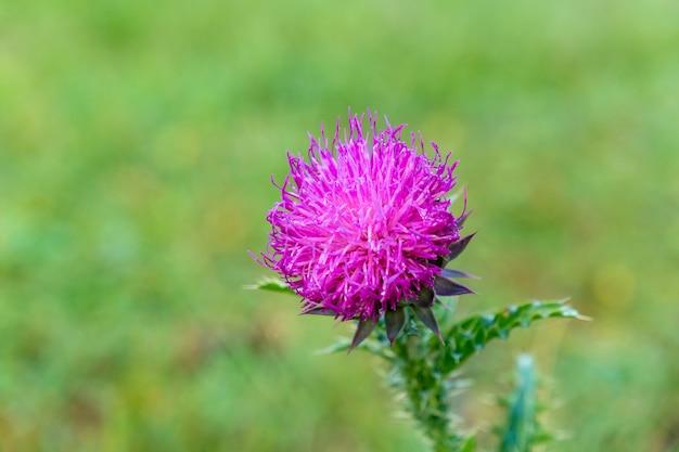 Close-up helder roze bloem van melancholische distel op een groene natuurlijke achtergrond, natuur