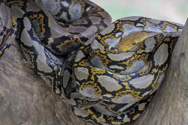 Close-up hoofd grote birmese python slang in lichaam op stok boom in thailand
