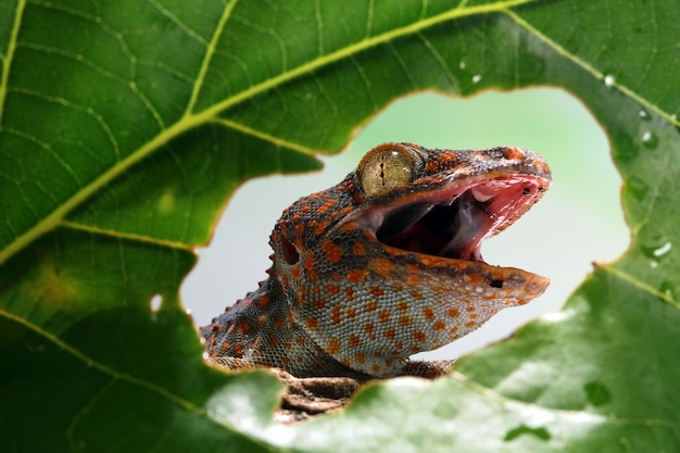 Close-up hoofd van tokay gekko