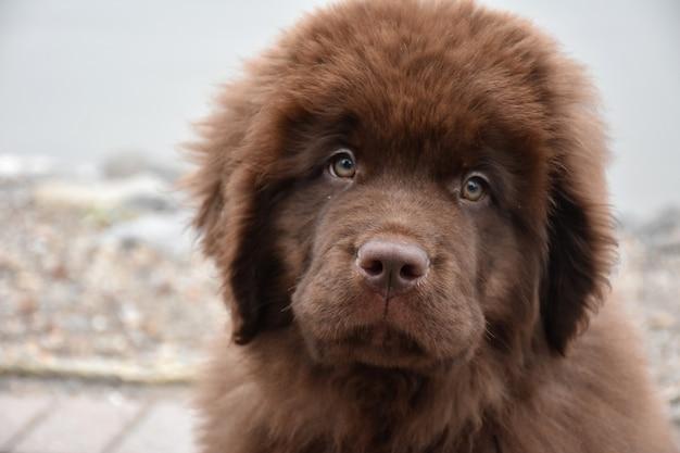 Close-up kijken naar een pluizig chocoladebruin newfoundland puppy hondje