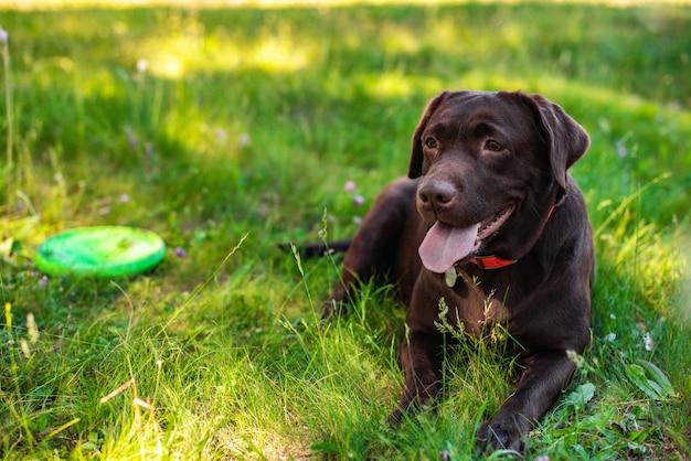 Close-up labrador die tijdens rust op het groene gazon ligt
