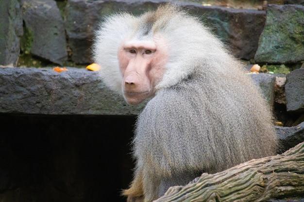 Close-up landschap shot van een grijze baviaan aap met stenen op de achtergrond